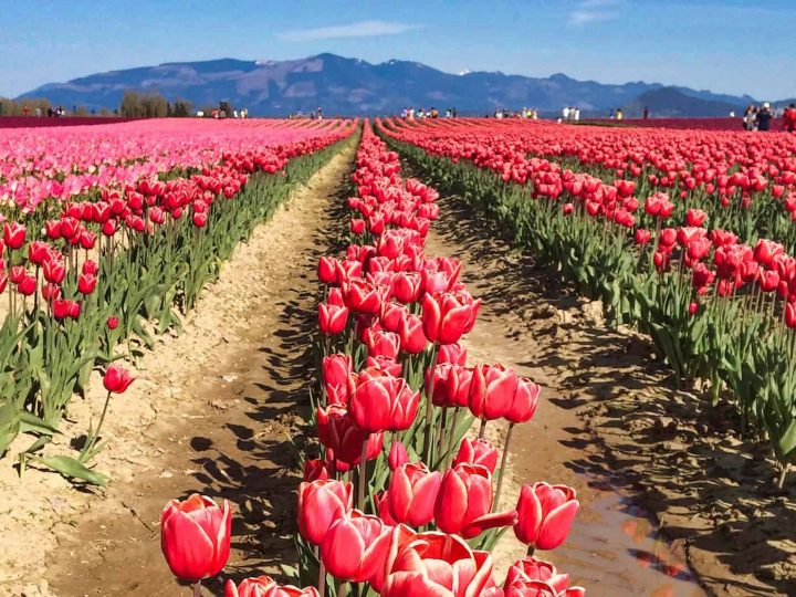 Skagit Valley Tulip Festival: Tips & How to Visit in 2021