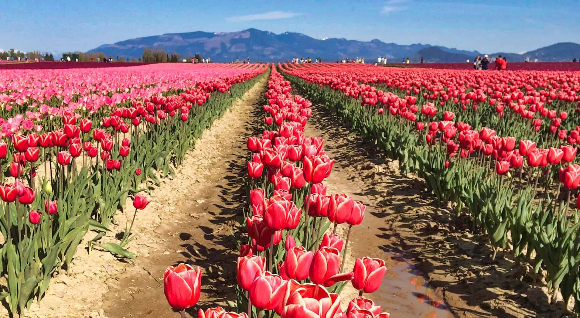 How to Visit the Skagit Valley Tulip Festival in 2020