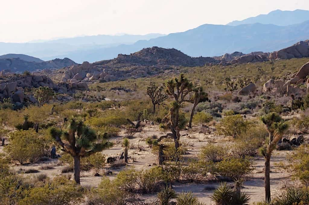 Joshua Tree Weekend Itinerary - Joshua Trees