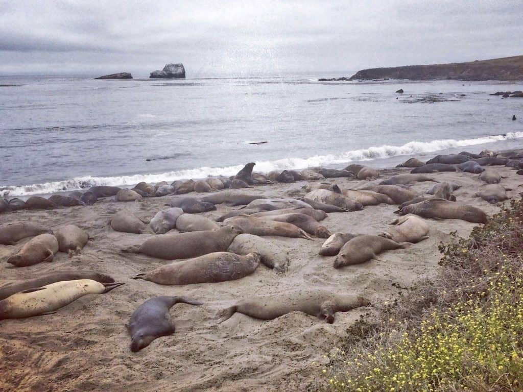 PCH Stops - Elephant Seal Beach