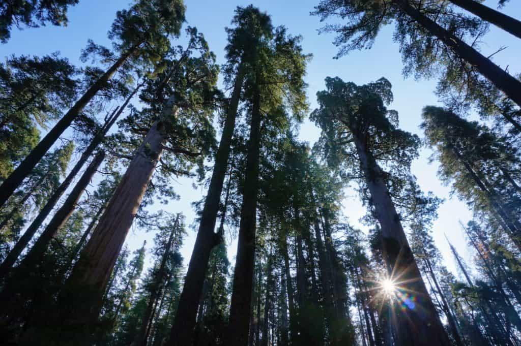 California Road Trip - Sequoias in Calaveras County