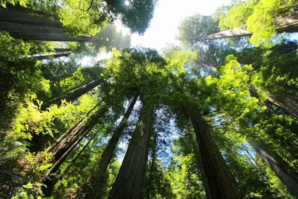 Giant Sequoias Looking Up