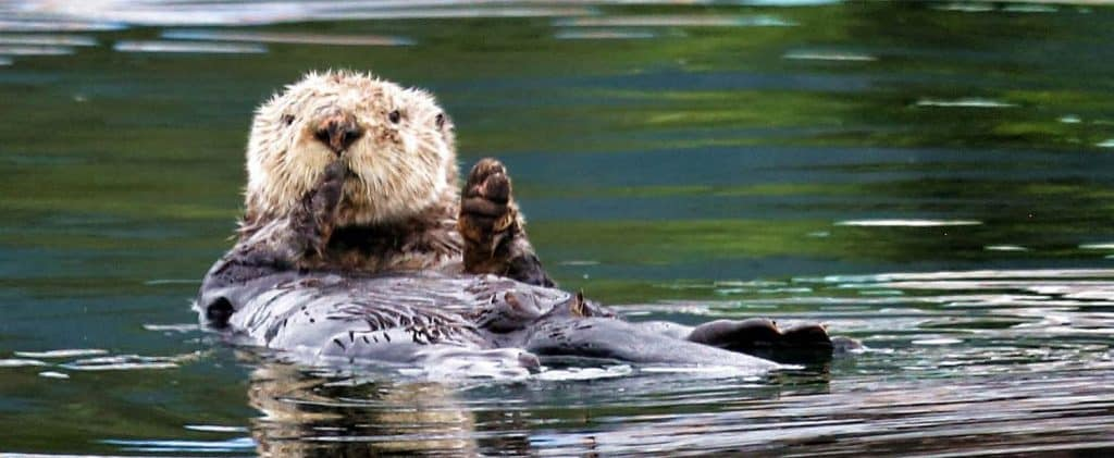 Allen Marine Tours - Sea Otter in Sitka