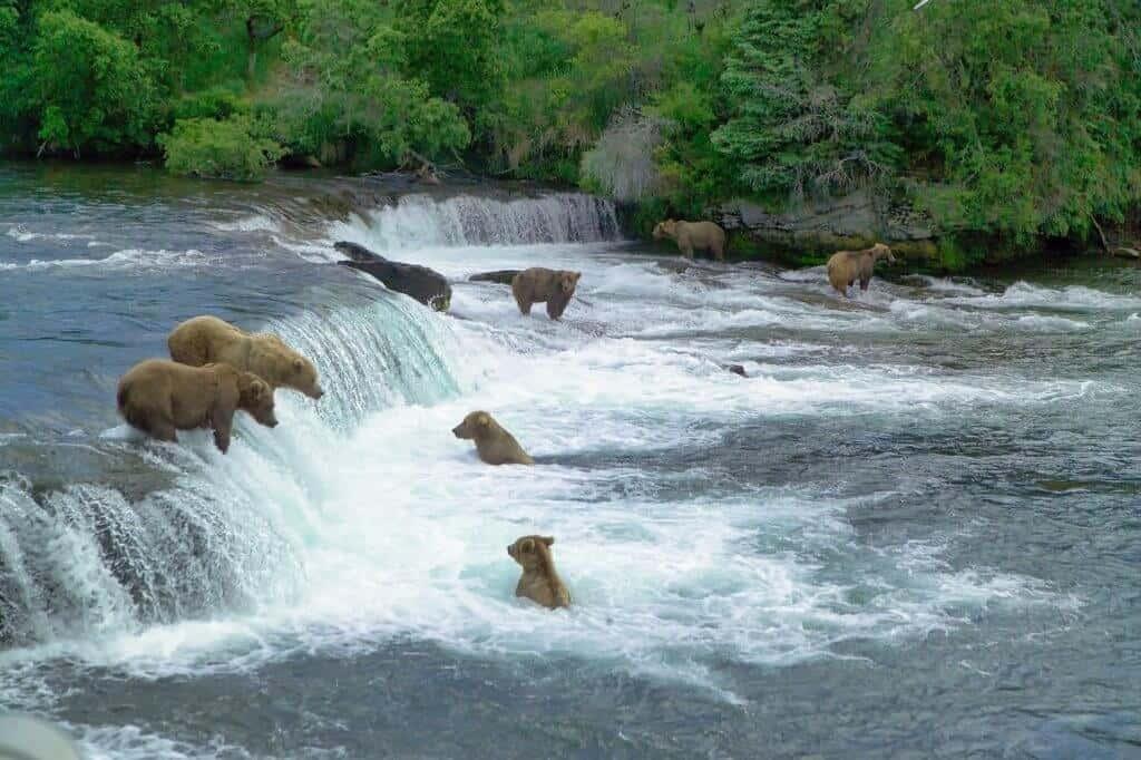 National Parks in Alaska - Katmai Bears
