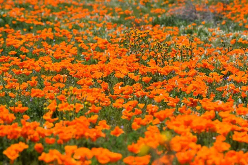 California Bucket List - Wildflowers