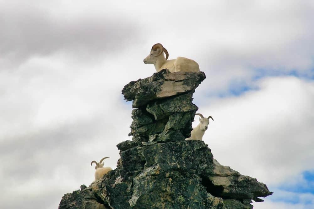 Alaska's Big Five - Dall Sheep in Denali National Park