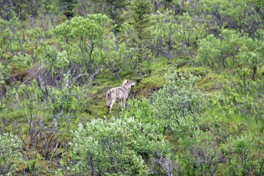 Alaska's Big Five - Grey Wolf in Denali National Park