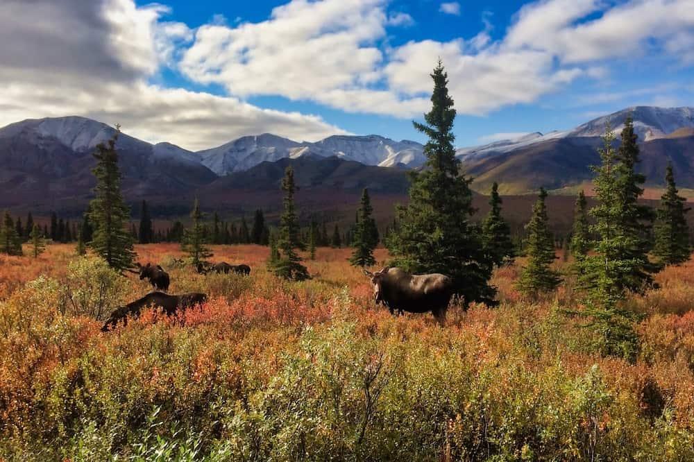 Alaska's Big Five - Alaskan Moose in Denali