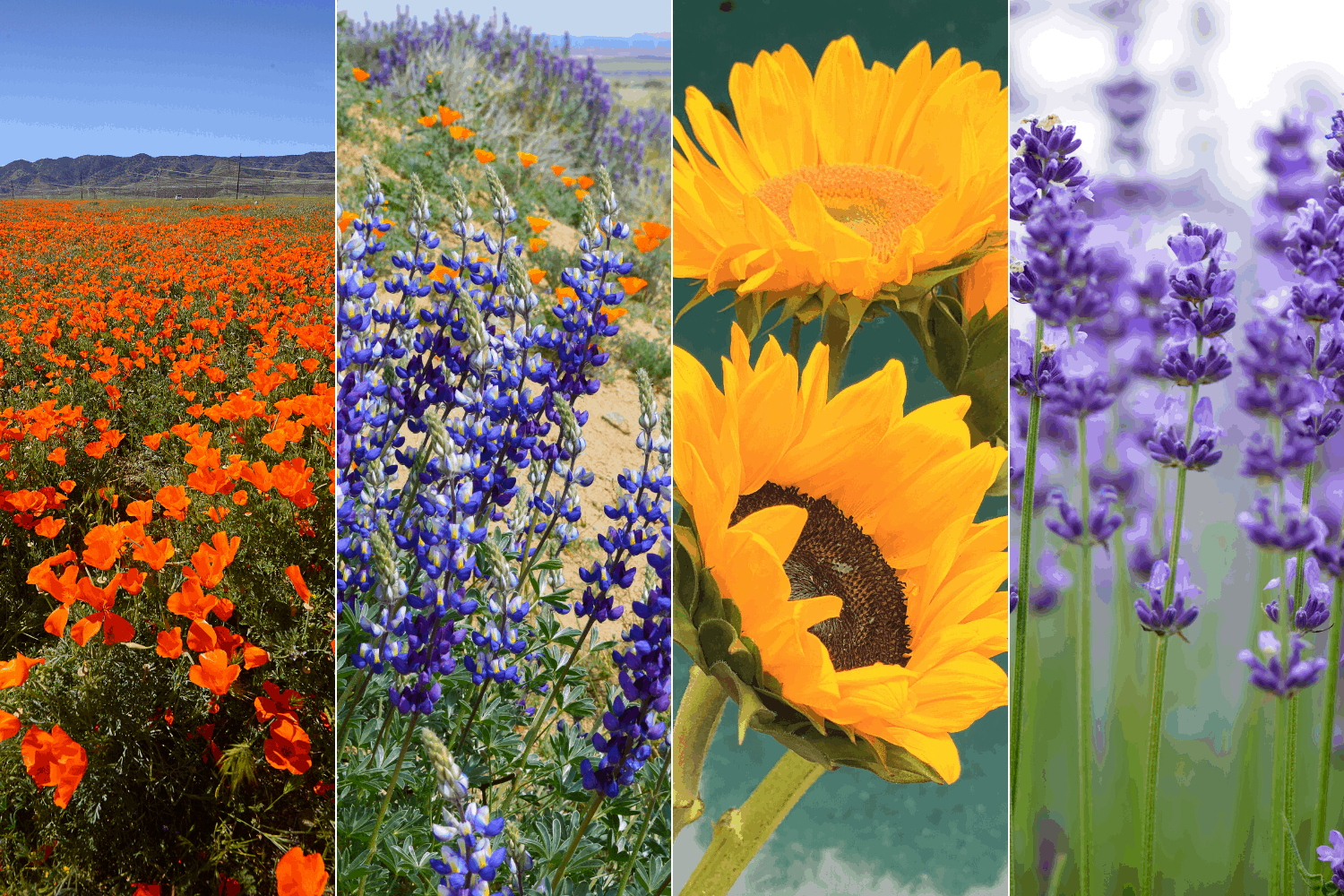 Best Places for California Flowers Hero