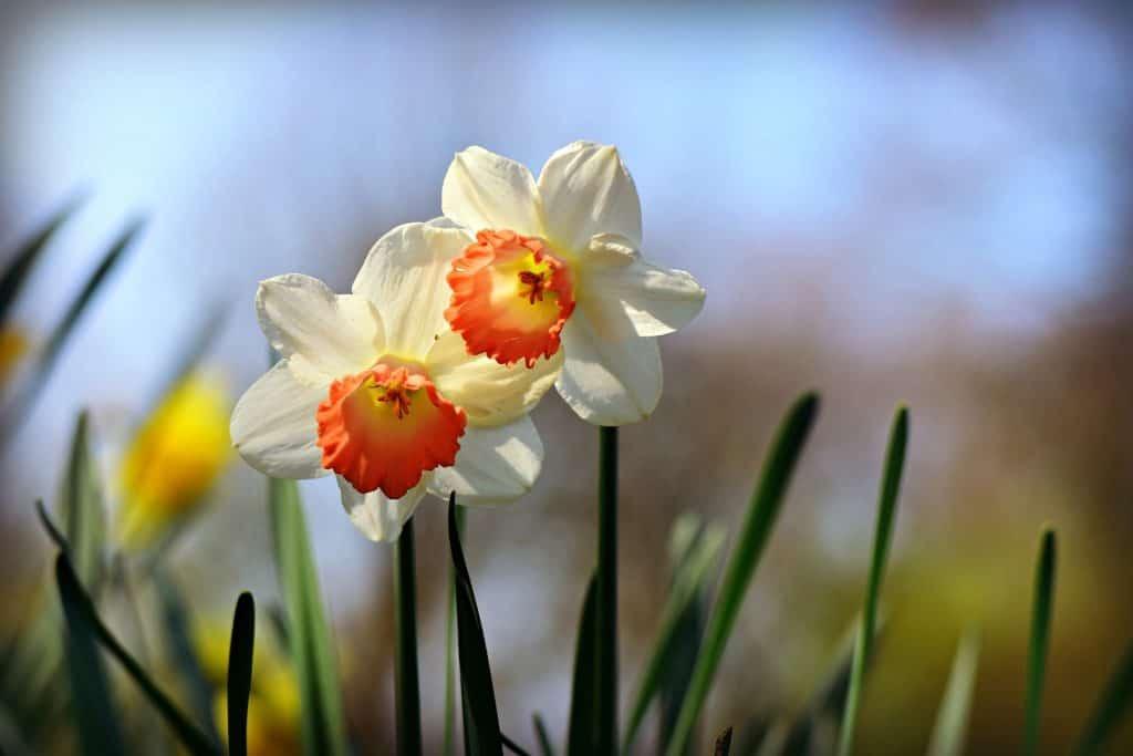 Flower Fields in California - Daffodils
