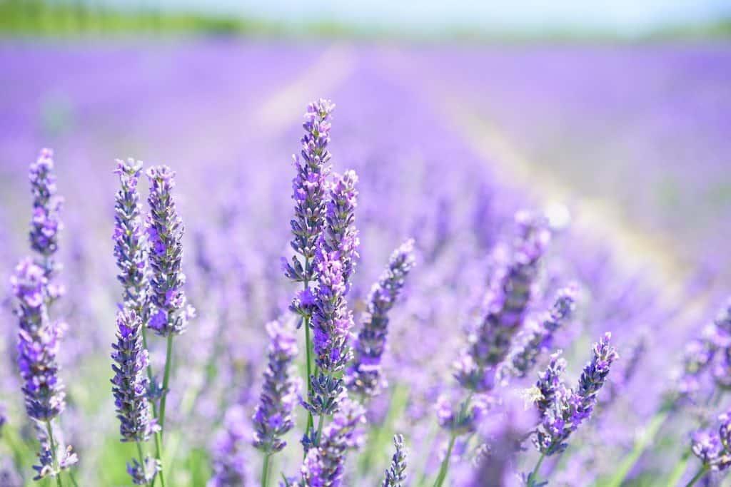Flower Fields in Califonia - Lavender