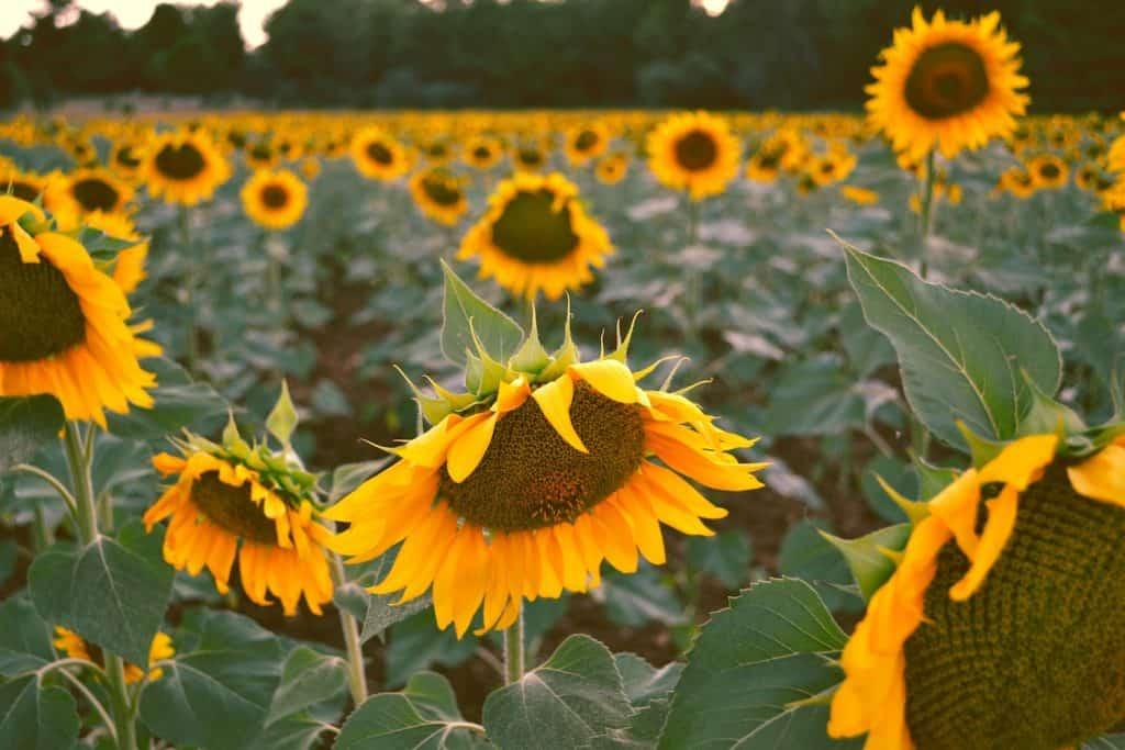Flower Fields in California - Sunflowers