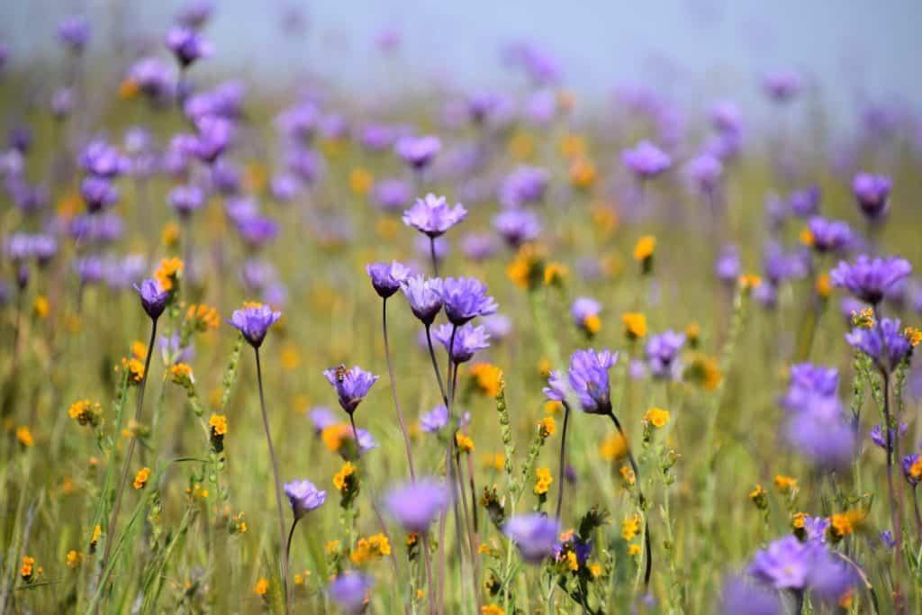 Purple and Orange California Wildflowers