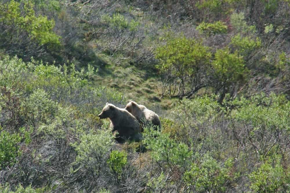 Alaska's Big Five - Grizzlies in Denali National Park