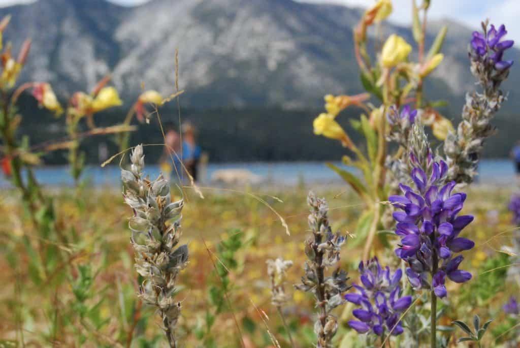 Wildflowers at Lake Tahoe - Mahmoud Hashemi via Flickr