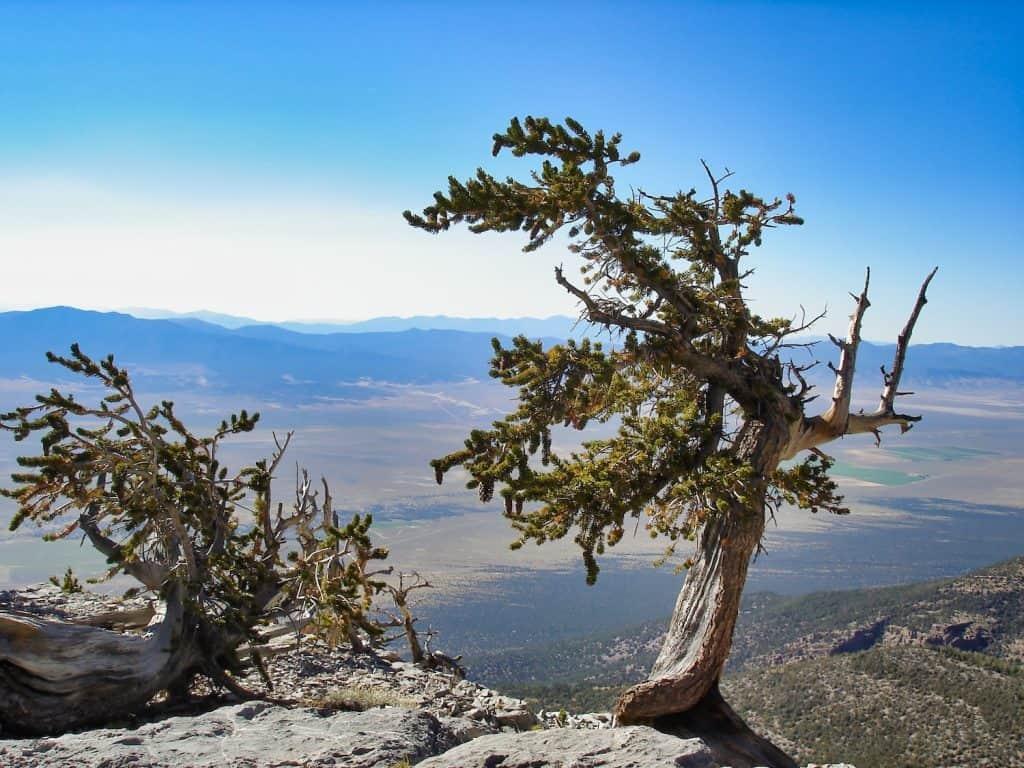 Great Basin National Park - Bristlecone Pine